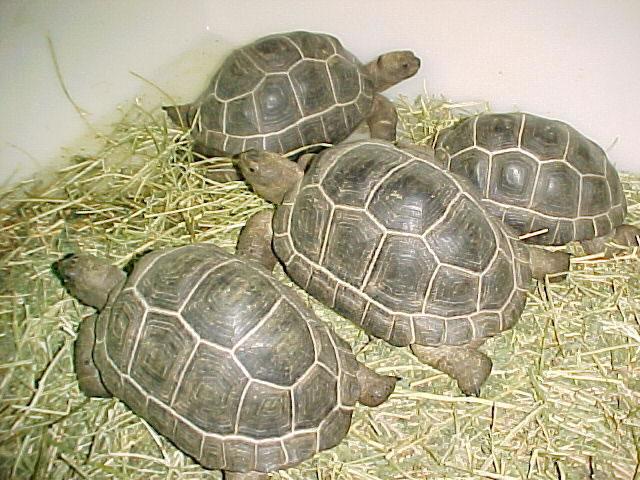 Les tortues. Edzii351