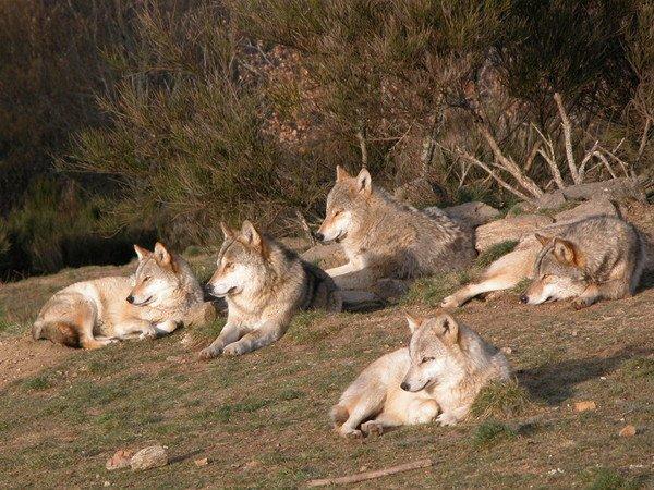 la légende du loup Yia80a7m